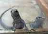 Nuevas crías de lagarto gigante de El Hierro