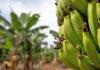 Plantaciones plataneras. ASPROCAN. NOTICIAS 8 ISLAS.