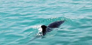 Delfín en las playas de Adeje. Cedida. NOTICIAS 8 ISLAS.