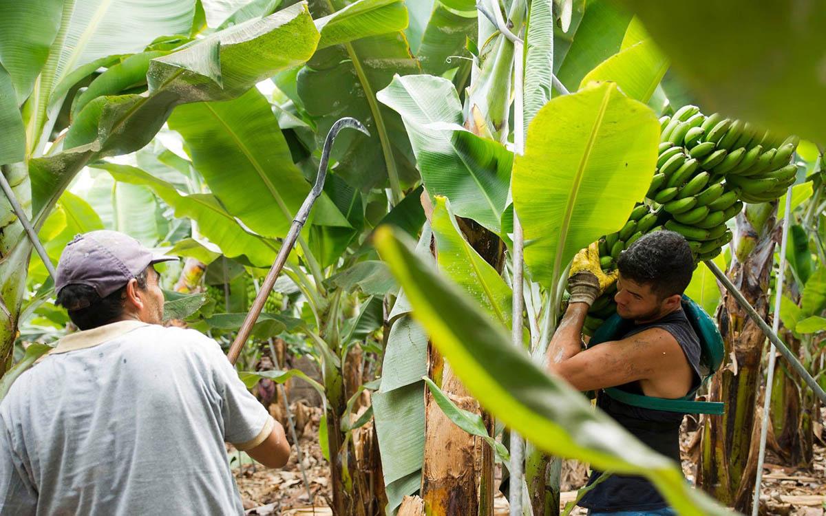 Los PGE 2022 incumplen con la ayuda al transporte del plátano establecida en el REF