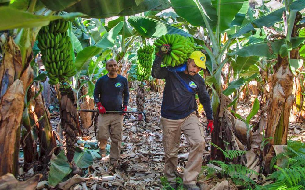 El Gobierno de España elige a la banana y abandona al plátano de Canarias