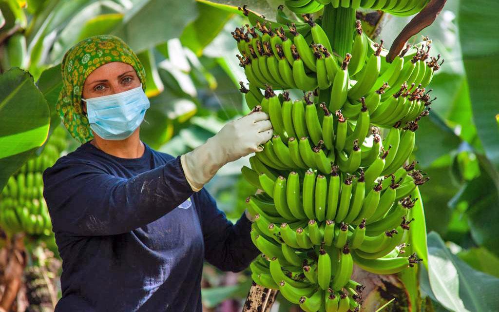 """ASPROCAN tacha de """"inaudito lo acontecido hoy"""", el Senado vota en contra de proteger al plátano de Canarias"""