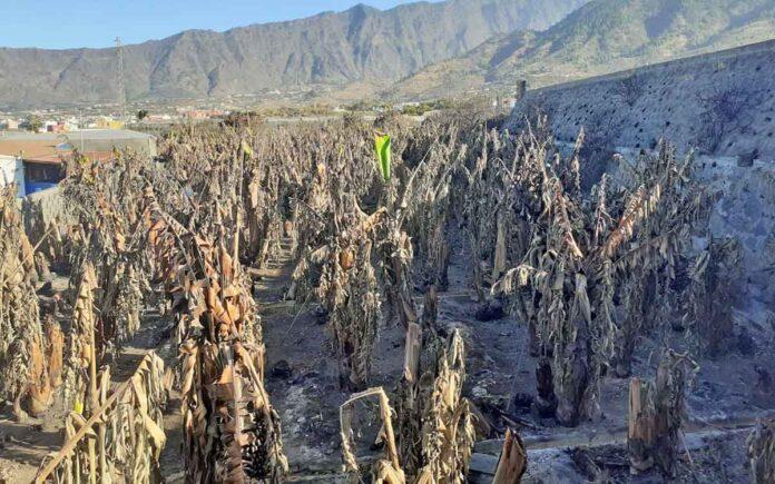 Efectos de la ola de calor y de el viento en el cultivo de plataneras./ ASPROCAN.